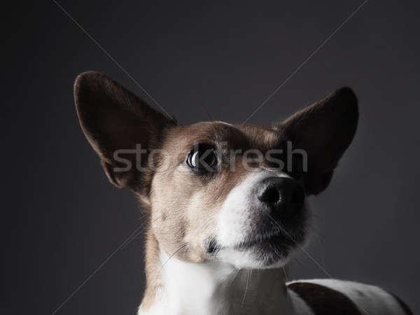 ジャックラッセルテリア 肖像 かわいい 犬 背景 ストックフォト © andreasberheide