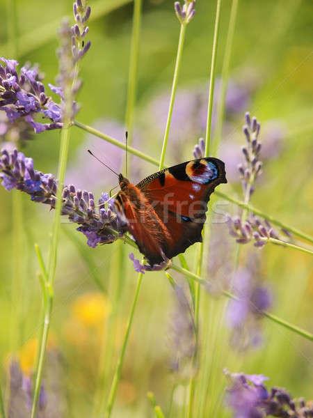 ヨーロッパの 孔雀 ラベンダー畑 花 春 蝶 ストックフォト © andreasberheide