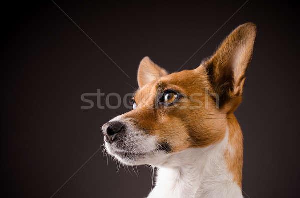 Közelkép jack russell terrier stúdiófelvétel kutya űr portré Stock fotó © andreasberheide
