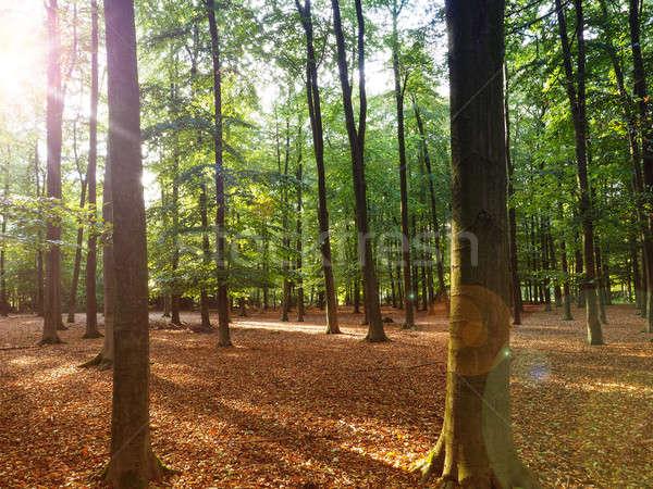 Beech forest with sun beam Stock photo © andreasberheide