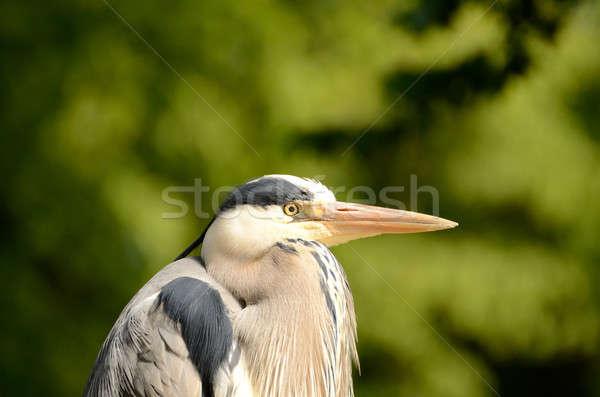 Gray Heron Stock photo © andreasberheide