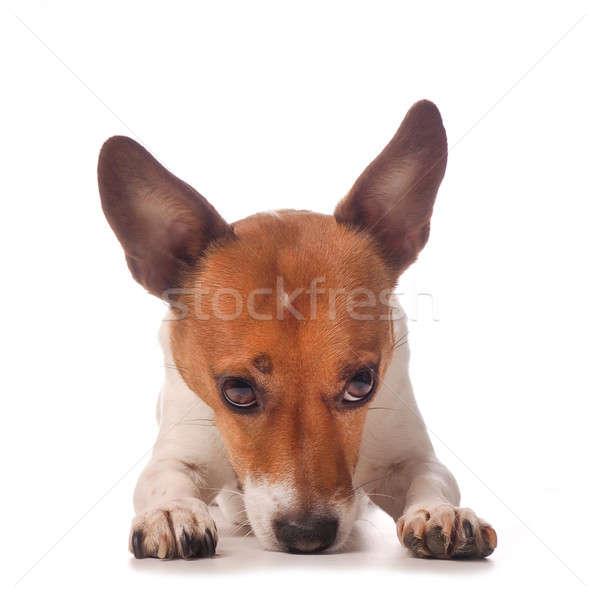 Джек-Рассел терьер Cute белый студию собака животного Сток-фото © andreasberheide
