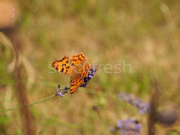 Pillangó levendula park virág tavasz természet Stock fotó © andreasberheide