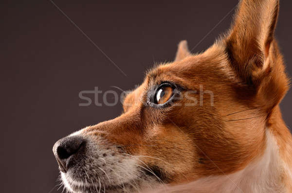 Jack Russell Terrier Stock photo © andreasberheide