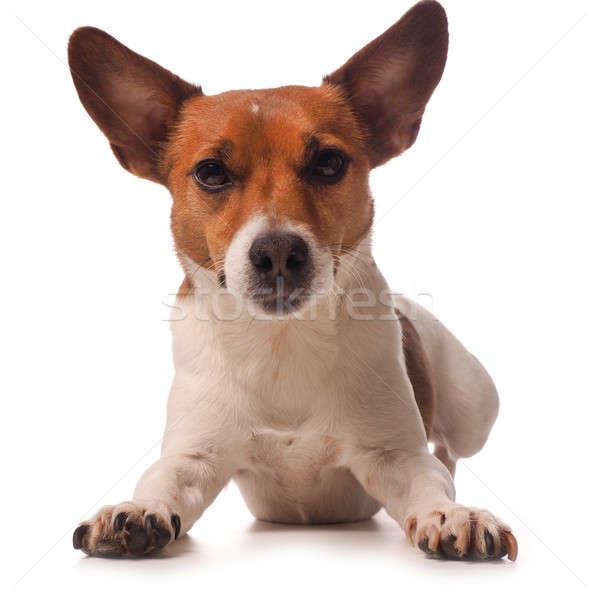 Джек-Рассел терьер белый собака животного студию Сток-фото © andreasberheide