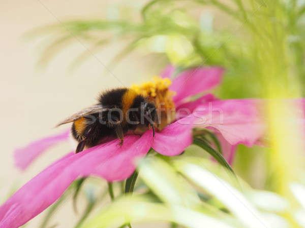 Bumble bee having a break Stock photo © andreasberheide