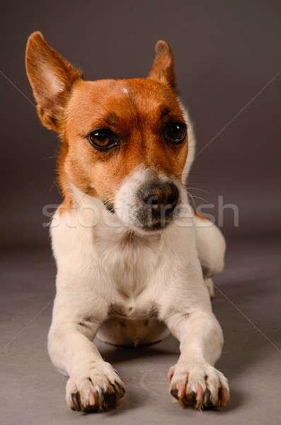 Джек-Рассел терьер серый студию собака фон белый Сток-фото © andreasberheide