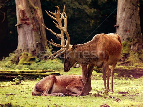 Red deer (Cervus elaphus) Stock photo © andreasberheide