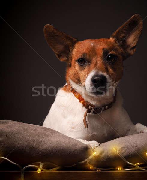 テリア クリスマス ライト ジャックラッセルテリア 休日 動物 ストックフォト © andreasberheide