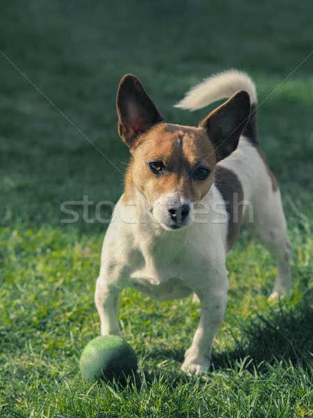 かわいい 犬 ボール ジャックラッセルテリア 庭園 午前 ストックフォト © andreasberheide