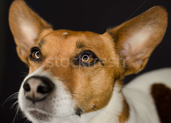 Coup jack russell terrier sombre chien studio Photo stock © andreasberheide