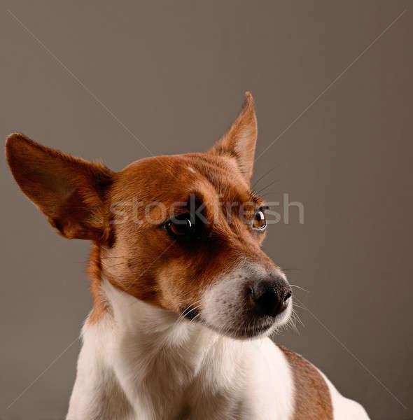 Jack Russel Terrier Stock photo © andreasberheide