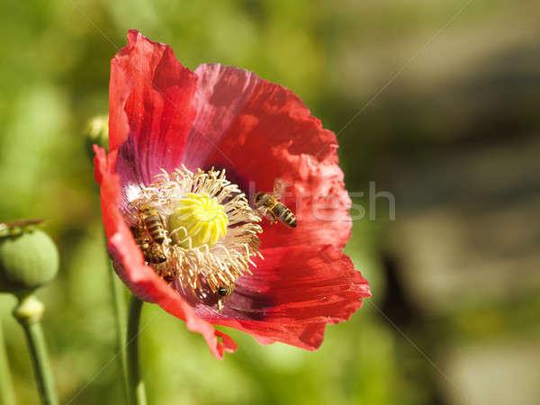 Papoula flor abelhas trabalhar primavera Foto stock © andreasberheide