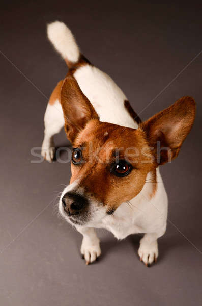 Jack russell terrier szürke stúdió kutya háttér fehér Stock fotó © andreasberheide