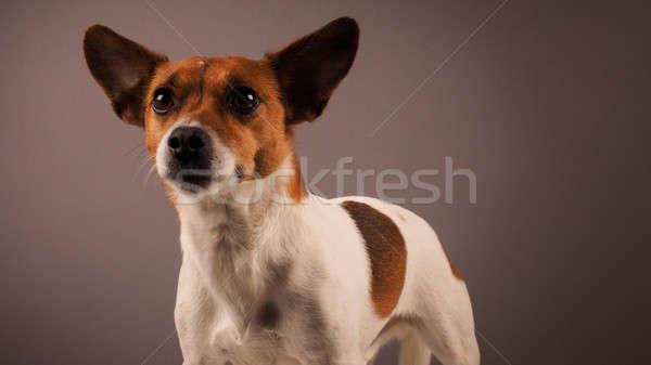 Portré jack russell terrier stúdiófelvétel háttér kutyakölyök nyelv Stock fotó © andreasberheide
