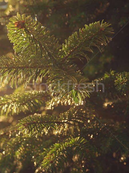 Wet green twig of a fir Stock photo © andreasberheide