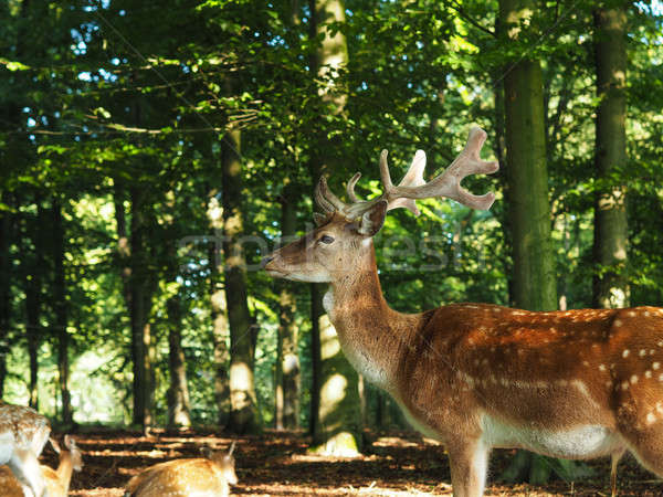Fallow deer in a forest Stock photo © andreasberheide