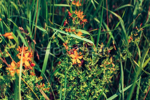 Tavasz vadvirág legelő vadvirág kert háttér Stock fotó © andreonegin