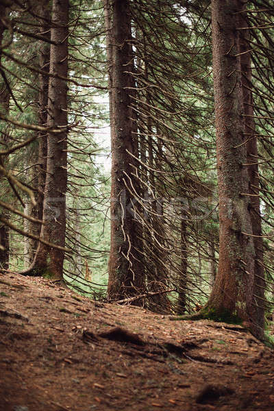 Forest of pine in the mountains Stock photo © andreonegin