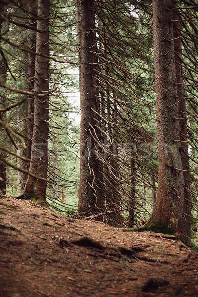 Forestales pino montanas primavera sol naturaleza Foto stock © andreonegin