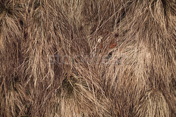 Straw texture background Stock photo © andreonegin