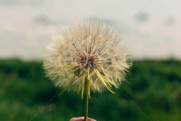 Foto stock: Diente · de · león · semillas · manana · luz · del · sol · central · naturaleza