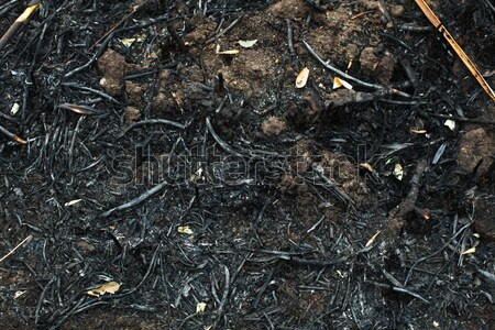 after the burnt ashes of reeds Stock photo © andreonegin