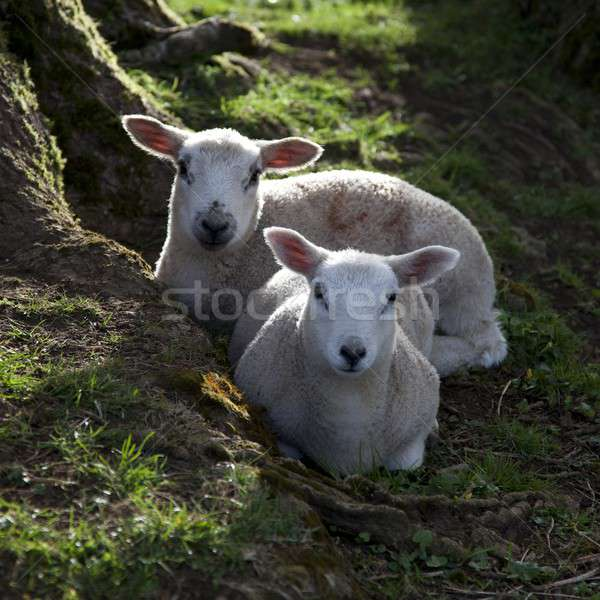 Printemps deux arbre racines moutons Photo stock © andrewroland