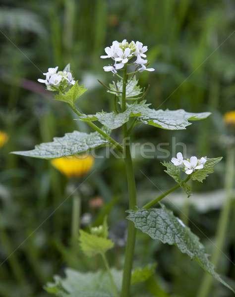 Hedge Garlic, Alliaria petiolata Stock photo © andrewroland