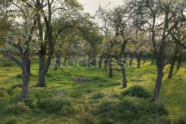Old English orchard Stock photo © andrewroland