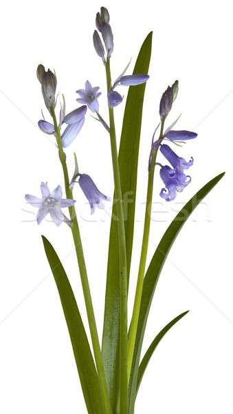 Bluebell, Hyacinthoides non-scripta Stock photo © andrewroland