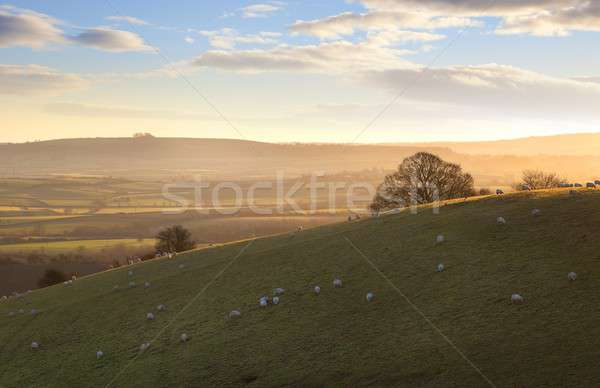 Sheep on Cotswold hills Stock photo © andrewroland