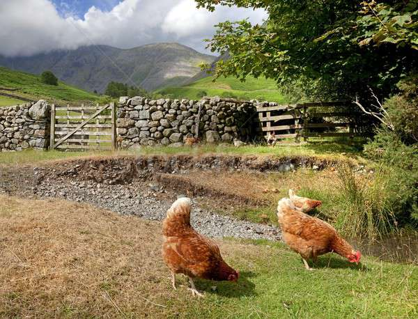 Chickens at Wasdale Head, Cumbria Stock photo © andrewroland