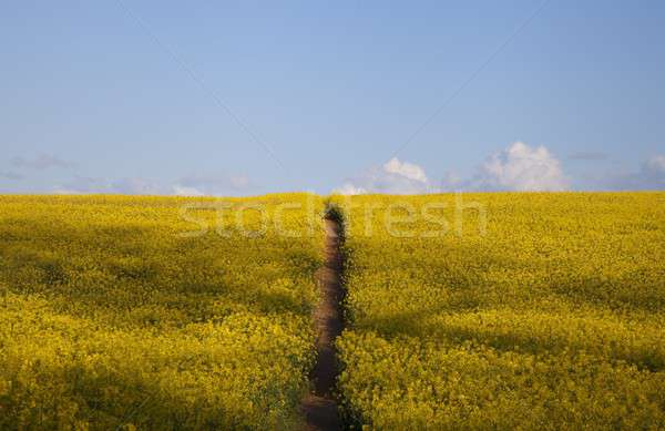 Stock photo: Field of flowers with path