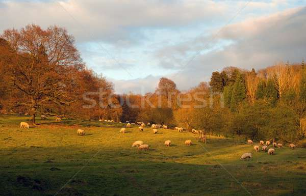 Sheep at sunset, England Stock photo © andrewroland