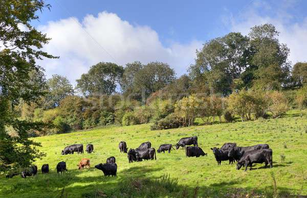 English rural scene with cows Stock photo © andrewroland