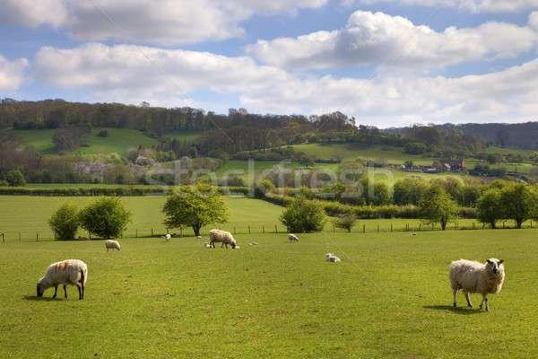 English pasture with grazing sheep Stock photo © andrewroland