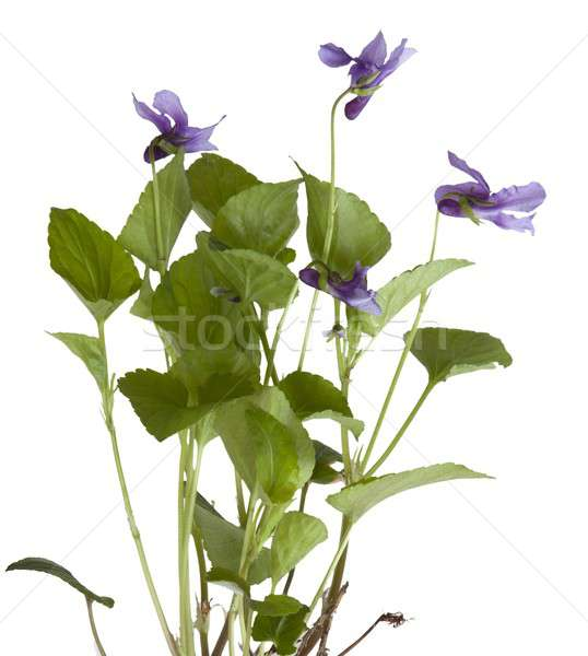 Common Violet, Viola sororia Stock photo © andrewroland