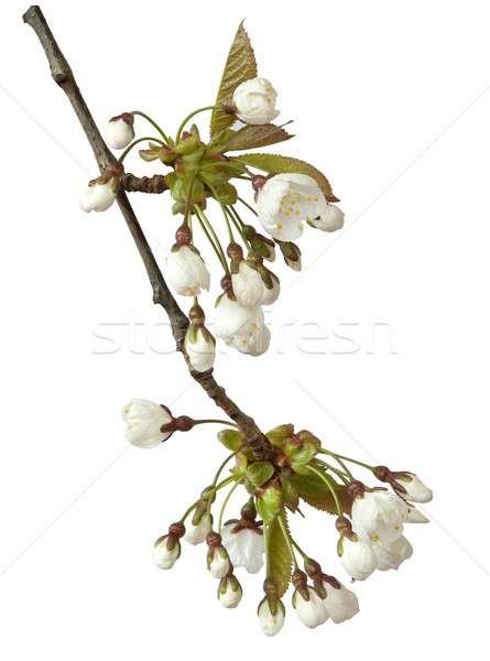 Kiraz çiçeği beyaz çiçekler ağaç bitkiler Stok fotoğraf © andrewroland