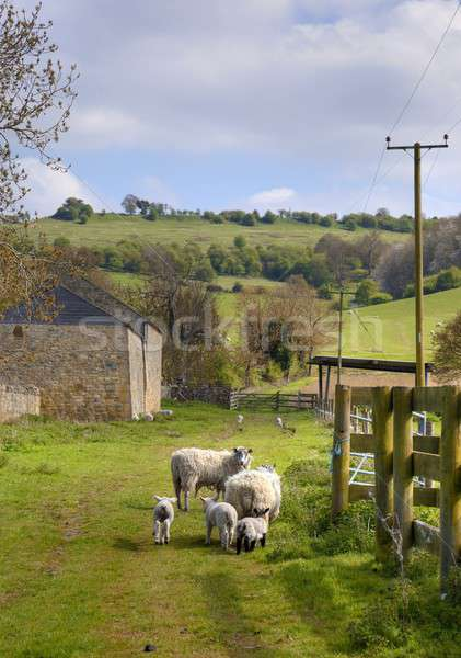 Sheep and lambs, Cotswolds Stock photo © andrewroland
