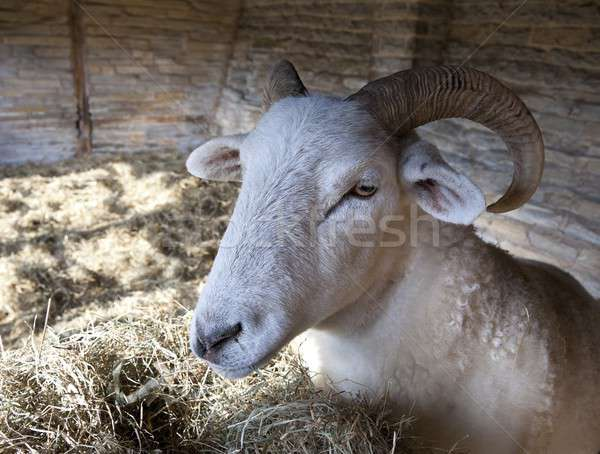 Sheep in stone shelter shed Stock photo © andrewroland