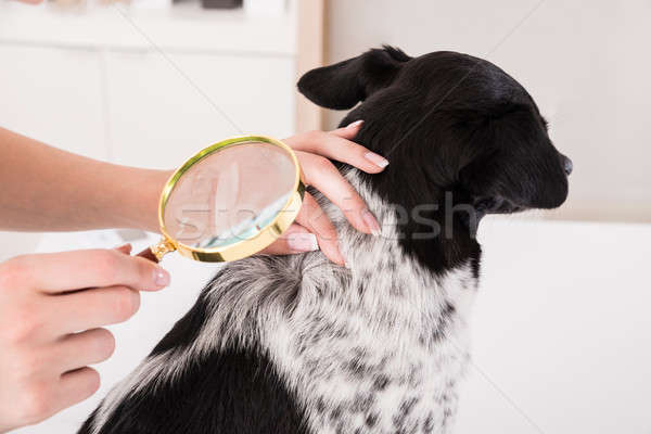 Vet Examining Dog's Hair With Magnifying Glass Stock photo © AndreyPopov