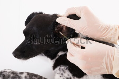 Vet Cleaning Dog's Ear Stock photo © AndreyPopov