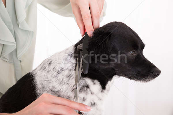 Close-up Of Woman Cutting Hair Of Her Dog Stock photo © AndreyPopov
