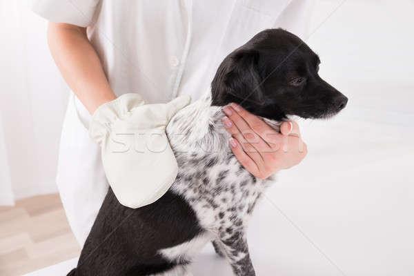 Veterinario cirujano examinar perro primer plano médico Foto stock © AndreyPopov