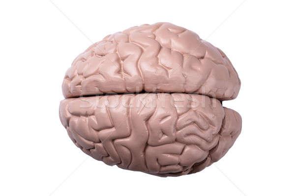 Plastica modello cervello umano view bianco cervello Foto d'archivio © AndreyPopov