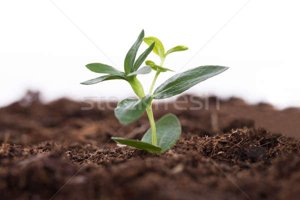Sapling representing business growth Stock photo © AndreyPopov