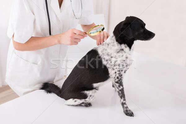 állatorvos megvizsgál kutyák haj nagyító közelkép Stock fotó © AndreyPopov