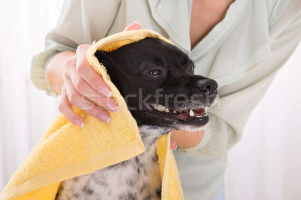 Woman Drying Her Dog With Towel At Home Stock photo © AndreyPopov