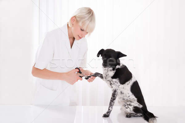 Vet Trimming Dog's Toenail Stock photo © AndreyPopov